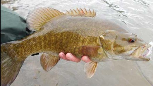 Smallmouth bass (Micropterus dolomieu)