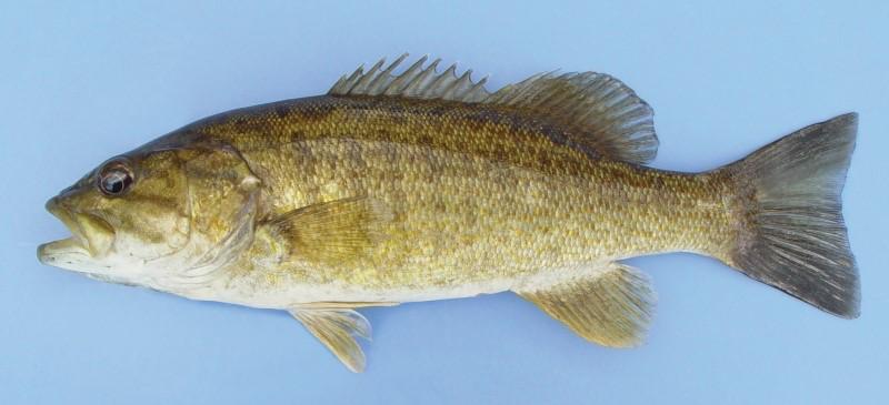 Smallmouth bass (Perca flavescens)